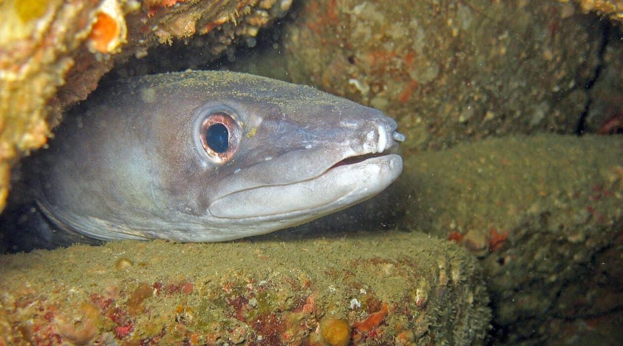 european conger eel