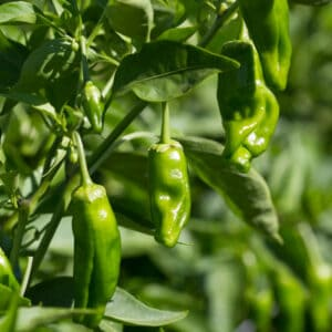 padron peppers on plant